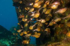 Bronzy fisk på reven Royaltyfri Fotografi