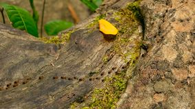Brood of black termite carrying soil to build nest, tree bark with moss. Eusocial insects colony marching in the jungle.