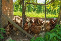 Chickens in Fenced Enclosure. A brood of brown/red chickens in their fenced enclosure with coop in rural north west Slovenia royalty free stock image