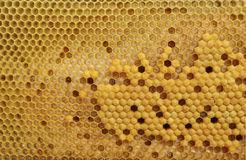 Brood cells of the honey bee Royalty Free Stock Photo