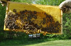 Brood comb with bees. Colorful and crisp image of brood comb with bees royalty free stock photos