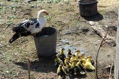 Brood of ducklings Stock Photo