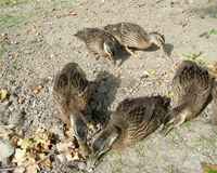 A brood of ducklings Royalty Free Stock Image