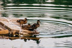 The ducklings are sitting on the shore on a small wooden raft stock images