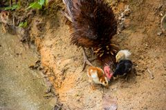 A brood foraging Royalty Free Stock Photo