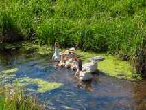 Brood of geese cackling in a small pond stock photo