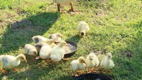 Brood of goslings on the grass stock video footage