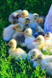 Brood of goslings on the grass Stock Images