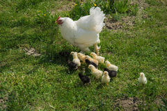 A brood hen with chickens. A mother hen and its baby chickens at an organic farm stock image