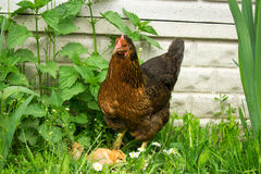 Brood hen with chickens Royalty Free Stock Photos