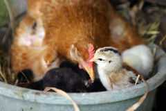 Brood and hen Stock Images