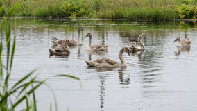Brood. Of mute swan (Cygnus olor) in pond stock photography