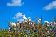 Free Brood Of Wood Storks In A Tree Nesting Stock Photography - 214593932