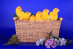 Brood of Red-fronted Kakariki parakeets. (yellow, green and cinnamon coloured) on blue background stock image