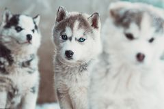 Brood of small Husky puppies, dogs next to each other. Brood of small Husky puppies, family of three dogs next to each other royalty free stock photos