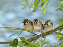 Brood of sparrows. Small brood of sparrows hidden on a branch royalty free stock images