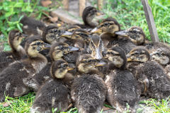 Brood of wild ducks on the grass. Brood of wild ducks on the grass Stock Photo