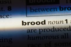 Brood. Word in a dictionary.  concept stock photos