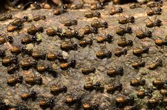 Brood of worker termite on tree bark. Termites are eusocial insects that are classified at the taxonomic rank of infraorder Isoptera royalty free stock images