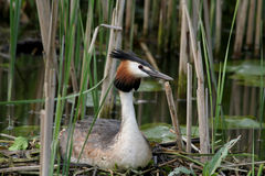 Brooding. Great crested grebe on a nest Royalty Free Stock Photography