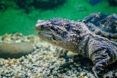 Brooding aquarium turtle. Maintenance of wild animals in captivity. Largest sea turtle in the aquarium Royalty Free Stock Images