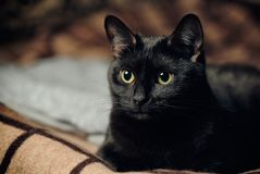 Brooding black cat. Black cat sitting on a plaid stock photography
