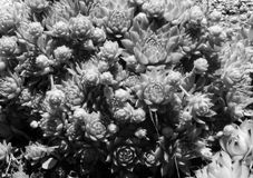 Brooding Cluster Od Succulents in Balck And white. A monochrome cluster of various sizes of chicks and hens Royalty Free Stock Photo