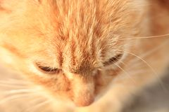 Brooding ginger kitten sits and looks down. Brooding ginger kitten looks down as if carefully watching and ready to attack Royalty Free Stock Photo