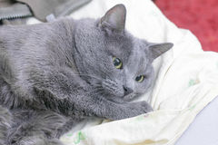 Brooding grey cat lies in thoughts Stock Image