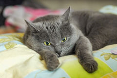 Brooding grey cat lying on bed Royalty Free Stock Image