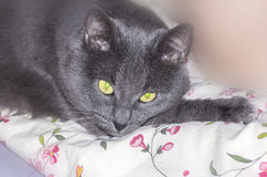 Brooding grey cat Royalty Free Stock Photography