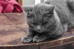 Brooding grey cat Royalty Free Stock Photos