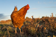 Brooding hen and chicks in a farm Stock Photos