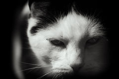 Brooding White And Black Cat. A large white & black cat appears to brood and be rather moody and quite possibly fierce in this close up black & white image Stock Images