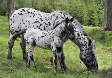 broodmare foal Στοκ φωτογραφία με δικαίωμα ελεύθερης χρήσης