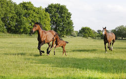 Broodmare gallops with foal Royalty Free Stock Photography