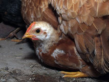Broody chicken. A little warm under a broody, chicken Stock Image