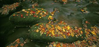 Brook in autumn. Stones in a brook covered with leaves Royalty Free Stock Image