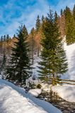 Brook with cascade in winter spruce forest. On a bright day. lovely nature scenery with lots of snow on hillsides Royalty Free Stock Image