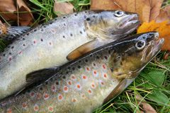 Brook Trout Stock Photography