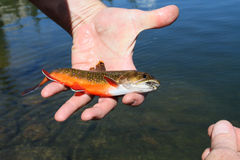 Brook trout. A brook trout caught with a fly Royalty Free Stock Photos