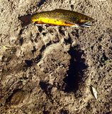 Brook Trout and Bear Print. On Riverbank royalty free stock images