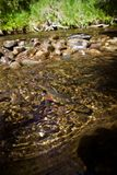 Brook Trout in Crystal Clear Waters. Brook Trout in Crystal Clear Water, Below Rocks royalty free stock photo