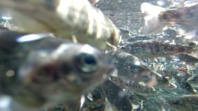 Fish Farming. Brook Trout Farming, Underwater Shot, Camera Mounted Close To Water Surface, Camera Lock Down stock video