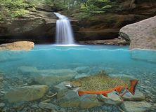 Brook Trout in a Forest Pool. Split level view of a beautiful male Brook trout in a forest pool with a waterfall in the background royalty free stock photos
