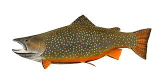 Brook Trout (Salvelinus fontinalis) Stock Photos