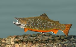Brook Trout (Salvelinus fontinalis) royalty free stock images