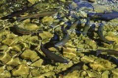 Brook trout Salvelinus fontinalis Royalty Free Stock Images