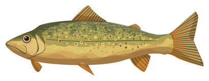 Brook trout Royalty Free Stock Image