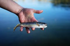 Brook Trout(Salvelinus fontinalis) in hand. Brook Trout caught and released in Mammoth Lakes, California royalty free stock photos